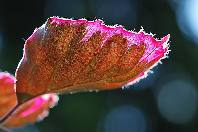 Fagus sylvatica ´Tricolor´- buk lesní - list s žilnatinou (23)