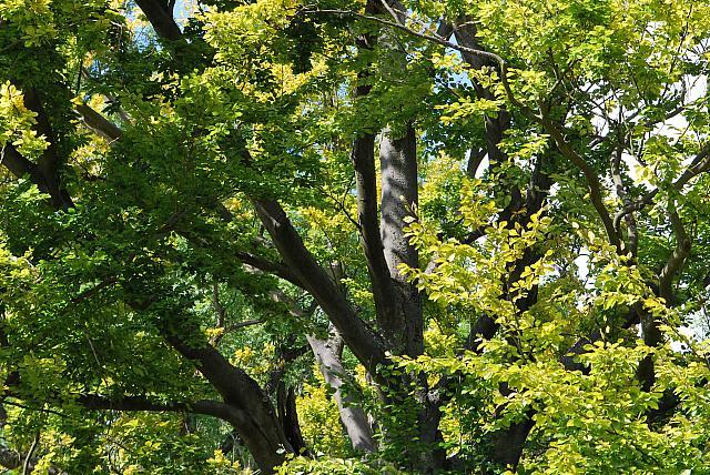 Fagus sylvatica - buk lesní - část letní koruny (19)