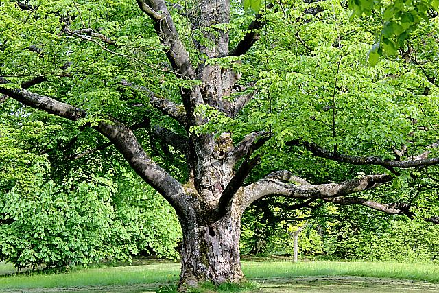 Fagus sylvatica - buk lesní - kmen a jarní listy (19)