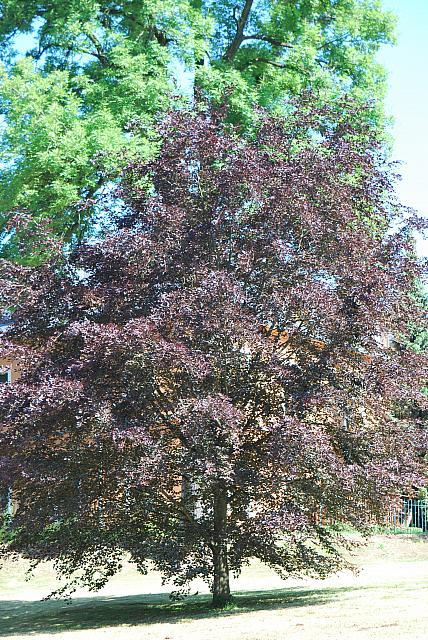 Fagus sylvatica 'Tricolor' - buk lesní - letní habitus (117)