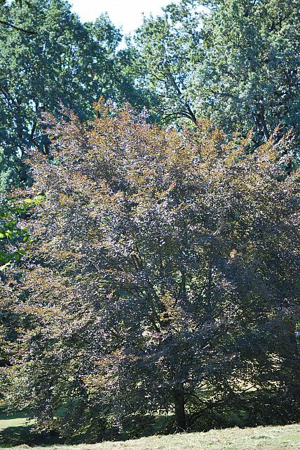 Fagus sylvatica ´Tricolor´ (='Roseomarginata')  - buk lesní - letní habitus (117)
