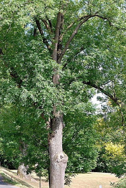Fraxinus excelsior - jasan ztepilý (26) - stromořadí - původní výsadba