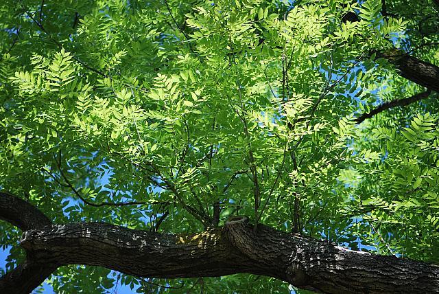 Fraxinus excelsior - jasan ztepilý - větev a listy (25)