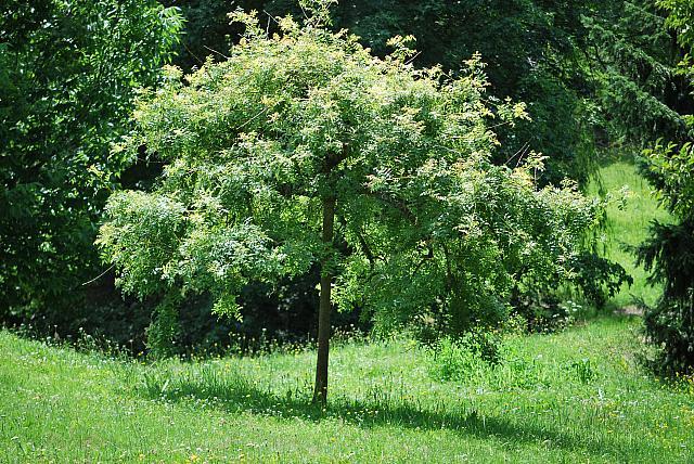 Fraxinus excelsior 'Jaspidea' - jasan ztepilý - letní habitus (32)