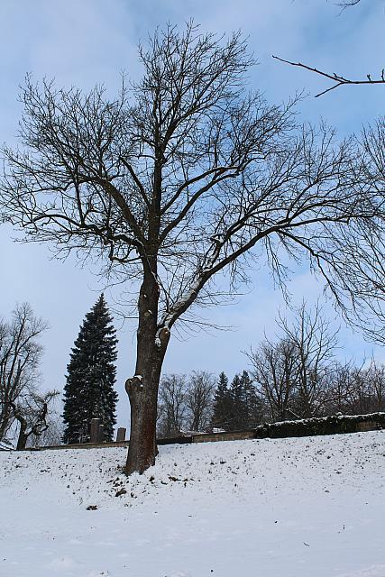 Fraxinus excelzior - jasan stepilý - zimní habitus ze stromořadí lemující silnici (26)