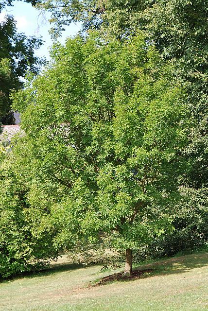 Fraxinus ornus - jasan manový - letní habitus (31)