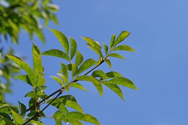 Fraxinus ornus - jasan manový - letní listy (31)