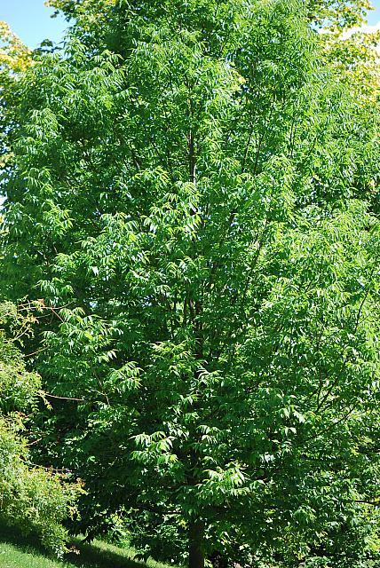 Fraxinus quandrangulata - jasan čtyřhranný - letní habitus (33)
