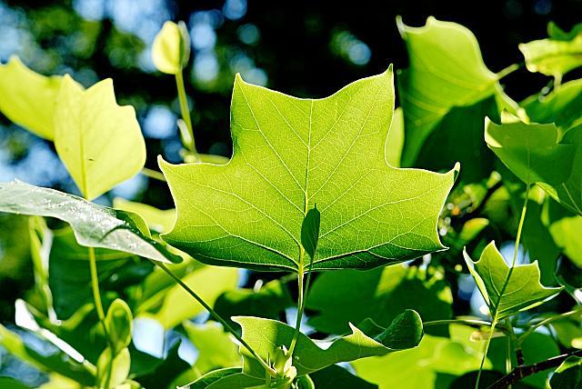 Liriodendron tulipifera - liliovník tulipánokvětý - letní list s žilnatinou (77)