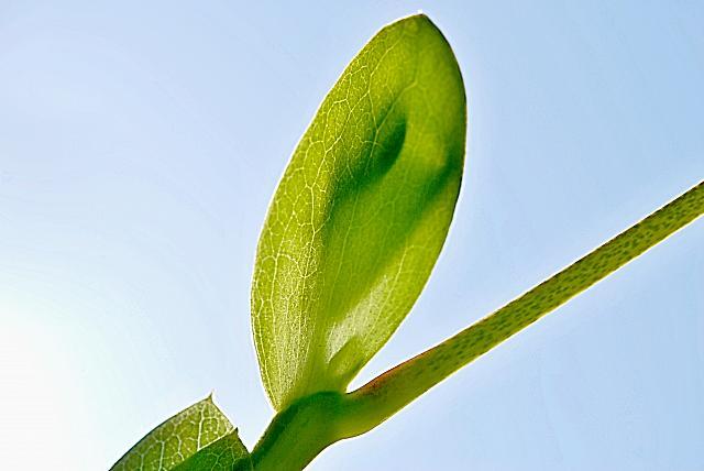 Liriodendron tulipifera - liliovník tulipánokvětý - pupen (77)