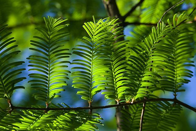 Metasequoia glyptostroboides - metasekvoje čínská (95) - jehlice