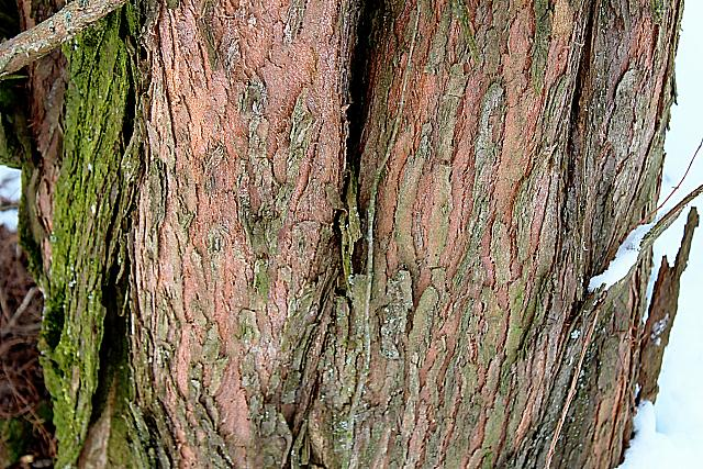 Metasequoia glyptostroboides - metasekvoje čínská - borka (95)