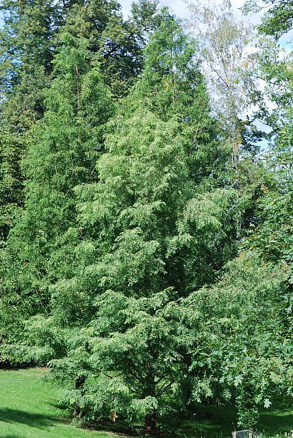Metasequoia glyptostroboides - metasekvoje čínská - letní habitusy (95)