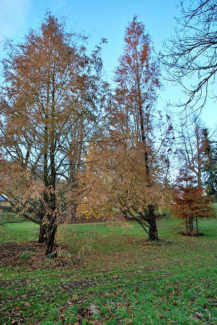 Metasequoia glyptostroboides - metasekvoje čínská - podzimní habitus (95)