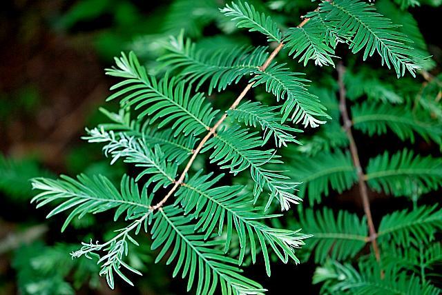 Metasequoia glyptostroboides 'White Spot' - metasekvoje čínská - jarní výhonky