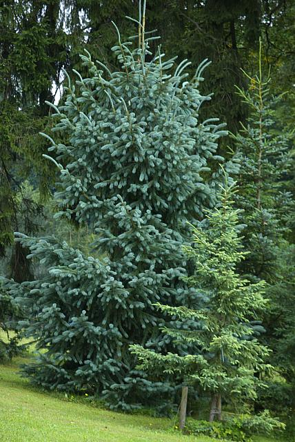 Picea engelmannii - smrk Engelmannův (112) - celek