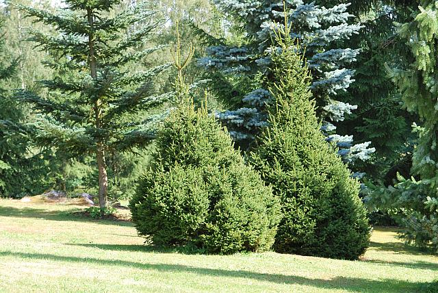Picea glauca ´Albertiana´ - smrk sivý - habitus - léto (114)