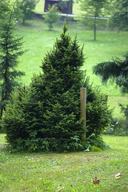 Picea glauca ´Albertiana´ - smrk sivý (114) - celek