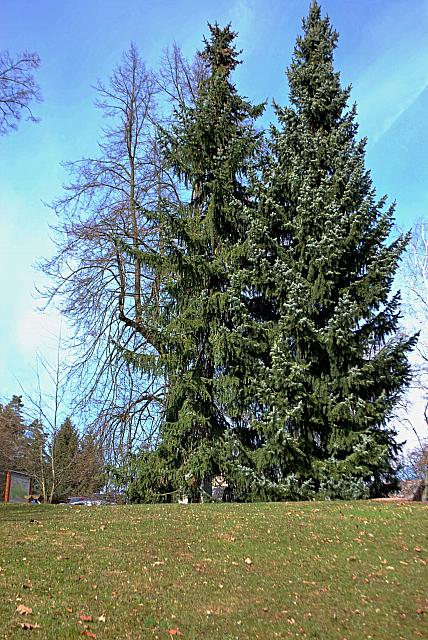 Picea omorica - smrk omorika - habitus (97)