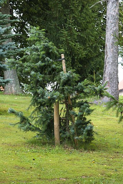 Picea omorika ´Bautzen´ - smrk omorika - celek