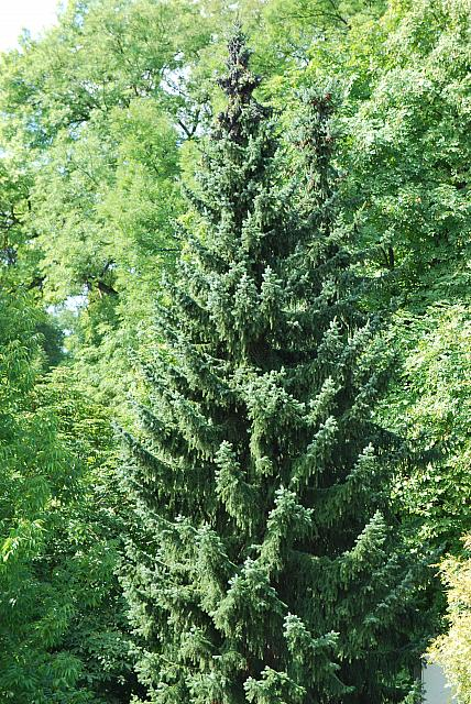 Picea omorika - smrk omorika - habitus - léto (97)
