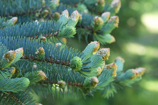 Picea pungens ´Glauca´ - smrk pichlavý - jehlice