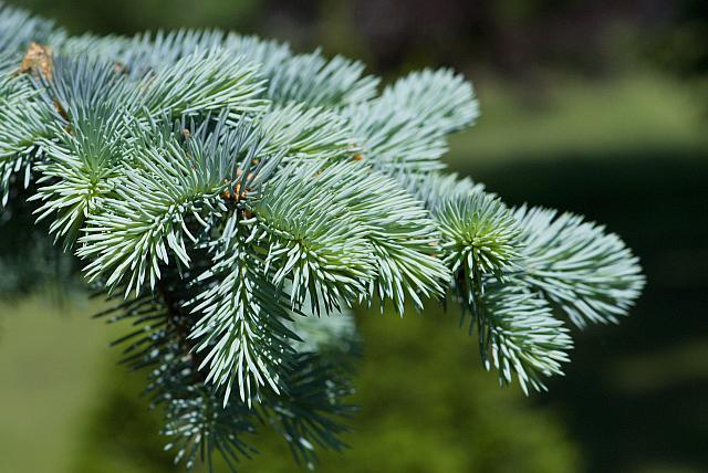 Picea pungens ´Glauca´ - smrk pichlavý cv.Průhonice (115) - jehlice