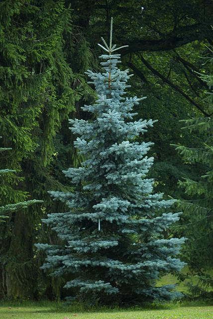 Picea pungens ´Glauca´ - smrk pichlavý cv.Průhonice (115) - celek