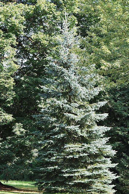 Picea pungens ´Glauca´- smrk pichlavý - habitus - léto (106) 2