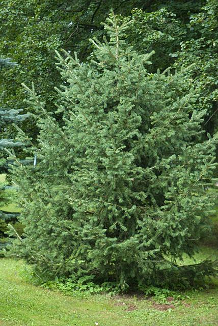 Picea schrenkiana - smrk Schrenkův - celek