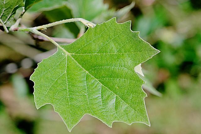 Platanus x hispanica - platan javorolistý - vývoj listu (74)