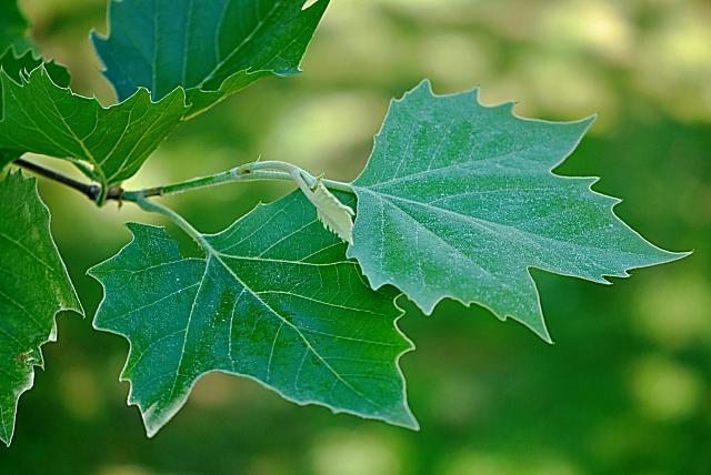 Platanus x hispanica - platan javorolistý - vývoj listu (74) 8