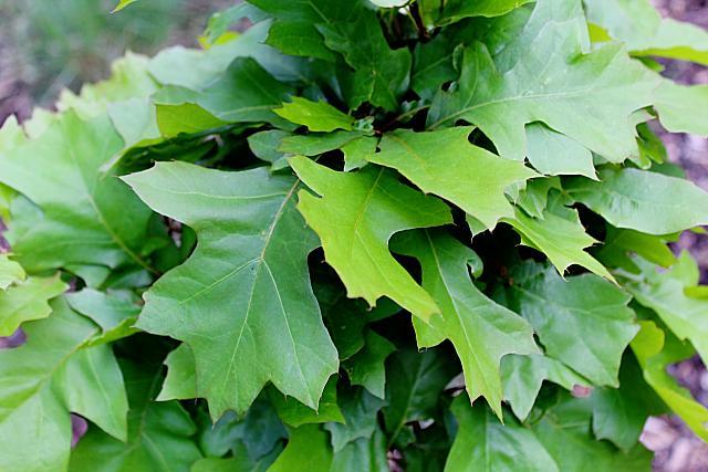 Quercus palustris ´Green Dwarf´- dub bahenní - jarní listy
