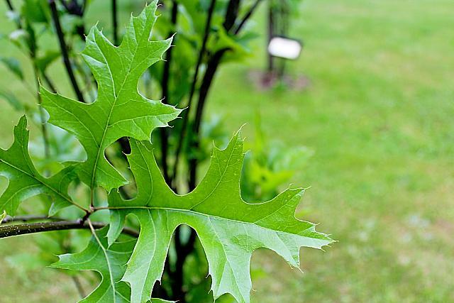 Quercus palustris ´Green Pilar´- dub bahenní - jarní listy