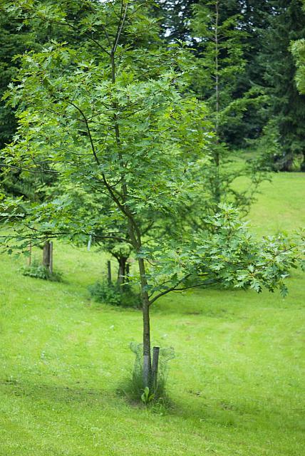 Quercus palustris - dub bahenní (16) - celek
