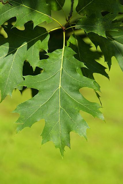 Quercus palustris - dub bahenní (16) - list