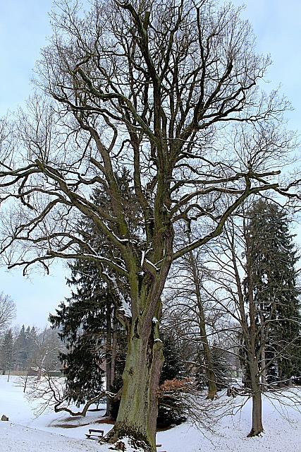 Quercus robur - dub letní - zimní habitus (5)