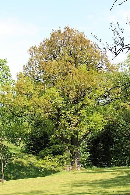 Quercus robur - dub letní - jarní habitus (5)