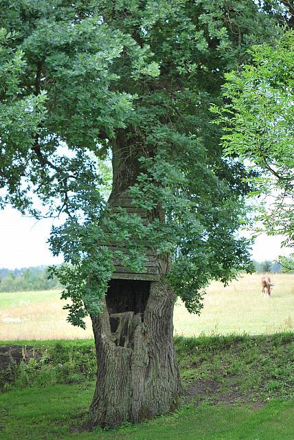 Quercus robur - dub letní - kmen (1)