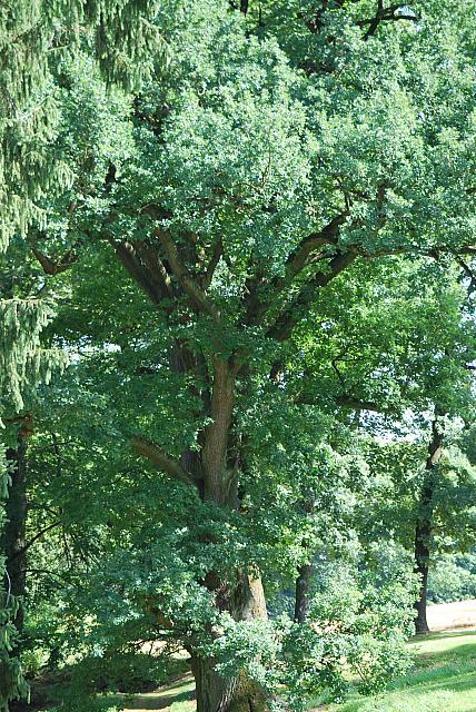 Quercus robur - dub letní - léto (1)