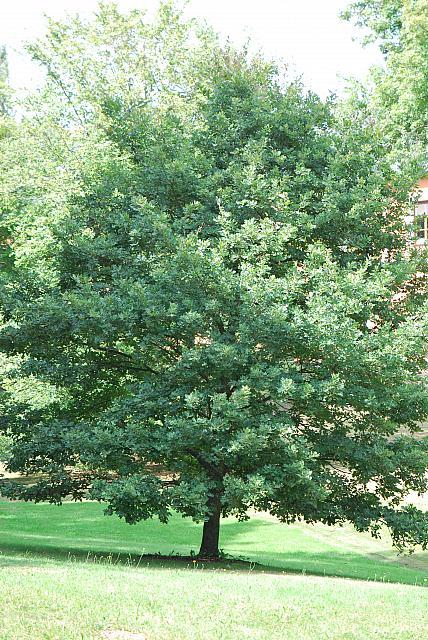 Quercus robur - dub letní - letní habitus (12)