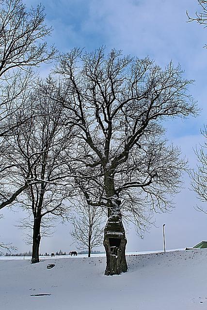 Quercus robur - dub letní - zimní habitus (1)