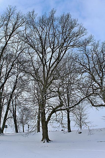 Quercus robur - dub letní - zimní habitus (2)