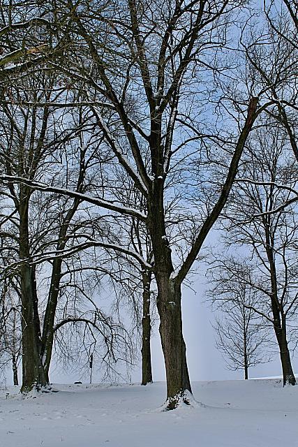 Quercus robur - dub letní - zimní habitus (3)