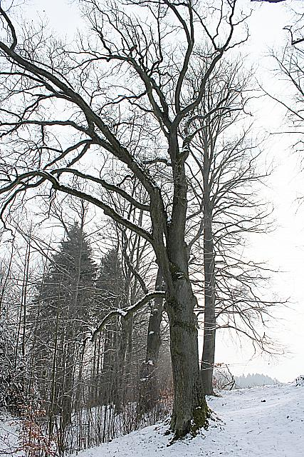 Quercus robur - dub letní - zimní habitus (6)
