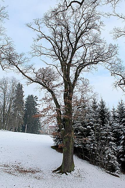 Quercus robur - dub letní - zimní habitus (7)