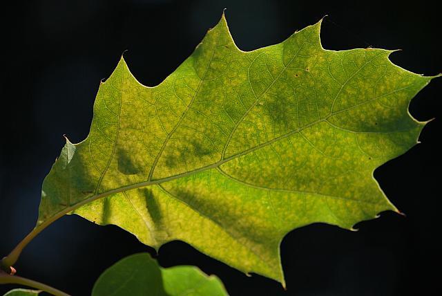 Quercus rubra ´Aurea´ - dub červeý - letní list - rub (51)2