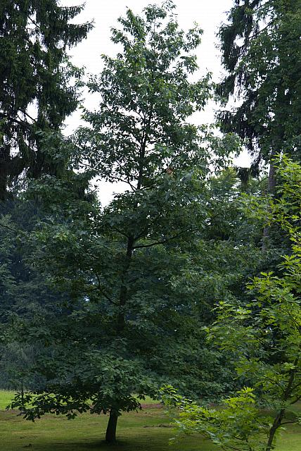 Quercus rubra - dub červený (15) - celek