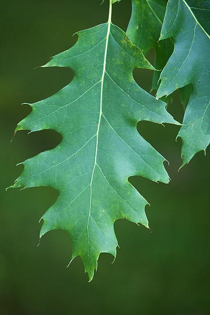 Quercus rubra - dub červený (15) - list