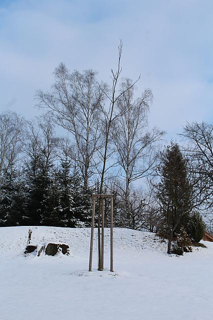 Quercus rubra - dub červený - zimní habitus (13)